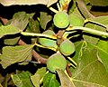 A@a figs in my yard - panoramio (1).jpg