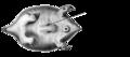 AB2. Marsupium dent (M03b).png