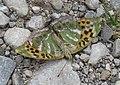 AIMG 8775 Bruck abgestürzter Schmetterling.jpg