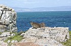 A Cape Hyrax or Dassie, this one named Pretorius.jpg