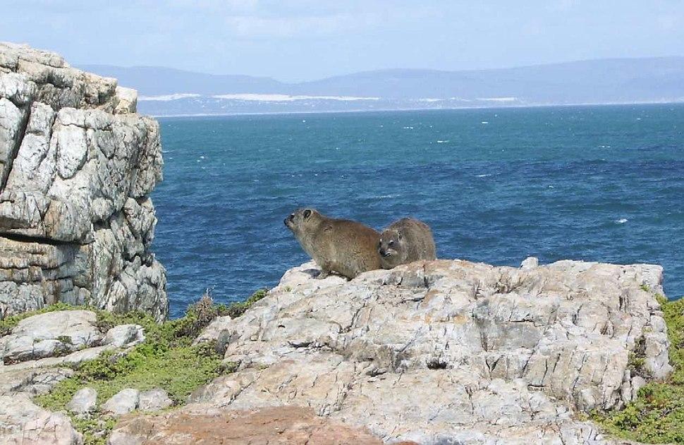 A Cape Hyrax or Dassie, this one named Pretorius