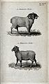 A Merino ram and a Merino ewe. Stipple engraving by Neele. Wellcome V0021705.jpg