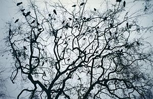 Many crows in a dark tree at New Orleans Squar...