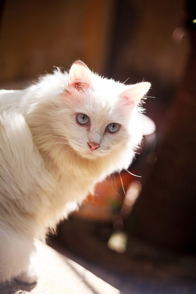 File A Completely Deaf Pure White Blue Eyed Cat Jpg