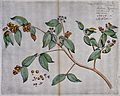 A plant related to the clove tree (Eugenia species); floweri Wellcome V0042628.jpg