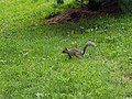 A squirrel in New York Botanical Garden.jpg