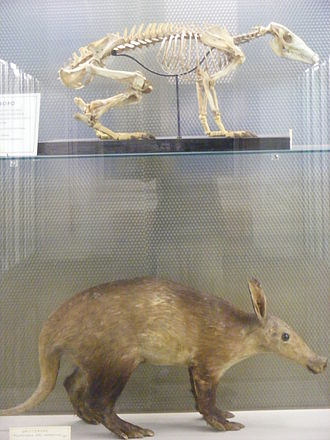 Aardvark - An aardvark skeleton and mounted individual