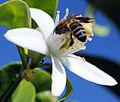 Abeille butinant une fleur doranger (3483227938).jpg