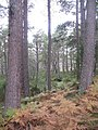 Abernethy Forest - geograph.org.uk - 956824.jpg