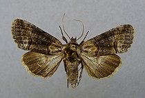 Abrostola asclepiadis.jpg
