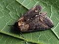 Abrostola triplasia - Dark Spectacle - Крапивная совка бурая (27227890858).jpg
