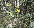 Acacia dealbata (37128635753).jpg