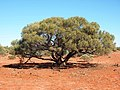 Acacia sessiliceps.jpg