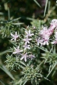 Acanthophyllum pungens (Caryophyllaceae) (33111287332).jpg