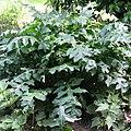 Acanthus mollis, leaves, Tasmajdan.jpg