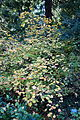 Acer circinatum - San Francisco Botanical Garden - DSC09808.JPG