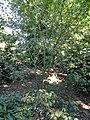 Acer elegantulum - J. C. Raulston Arboretum - DSC06112.JPG