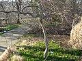 Acer palmatum Phipps.JPG