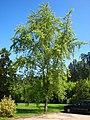 Acer saccharinum 'Wieri'.jpg