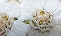 Achillea millefolium Morsan 01.jpg