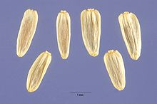 Achillea millefolium occidentalis seeds.jpg