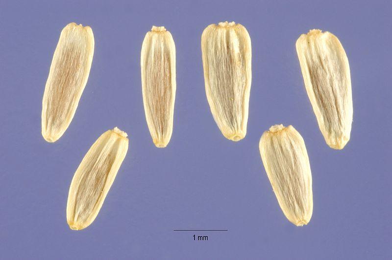 FRUTTO - Achillea millefolium