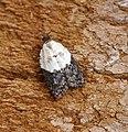 Acleris variegana (44150173194).jpg