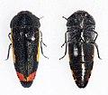 Acmaeodera flavomarginata proxima (39176902225).jpg