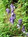 Aconitum napellus subsp. lusitanicum. Aconitum (flor).jpg