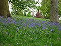 Across the bluebells - geograph.org.uk - 1295930.jpg