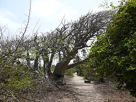 Adansonia digitata 0006.jpg