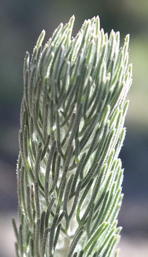 Nelson's taxonomic arrangement of Adenanthos - Closeup of A. cygnorum foliage