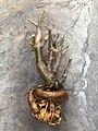 Adenium bare root after pruning.jpg