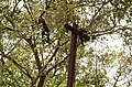 Adult lion-tailed macaque looking at the electrocuted infant in Valparai DSC 2524.jpg
