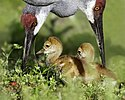 Adult sandhill cranes & chicks (15953461198).jpg
