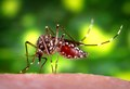 Aedes aegypti CDC08.tif