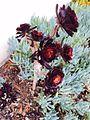 Aeonium arboreum 3.jpg