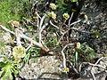 Aeonium manriqueorum (2).jpg