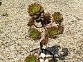 Aeonium percarneum PICT3815.jpg