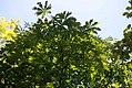 Aesculus flava 13zz.jpg