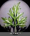 Aethusa cynapium subsp. cynapium s. lat. sl14.jpg