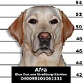 Afra the Labrador Retriever (mugshot).jpg