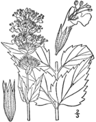 Agastache foeniculum drawing.png