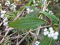Ageratina riparia leaf1 (11508498965).jpg