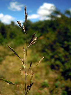 Agrostis vinealis inflorescens (1).jpg