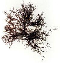 Ahnfeltia plicata Helgoland.JPG