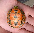 Alabama red-bellied turtle hatchling plastron view.jpg
