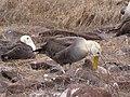 Albatross birds - Espanola - Hood - Galapagos Islands - Ecuador (4871109895).jpg