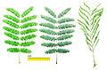 Albiyia leaf.jpg