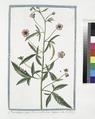 Alcea vulgaris major, flore ex rubro roseo - L'Alicée. (Musk Mallow) (NYPL b14444147-1124976).tiff